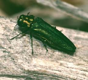 emeralashborer